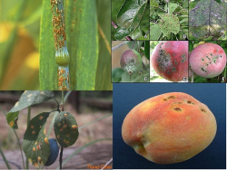 پاورپوینت بررسی بیماری بلاست برنج، لکه سیاه سیب، لکه اجری بادام و پوسیدگی قهوه ای